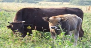 Слика 1. Автохтона раса Буша. Крава и теле